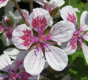 Erodium pelargoniflorum - pelargonnäva frö köp hos Plantanica