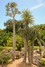 Pachypodium geayi - smalbladig ökenstjärna köp hos Plantanica
