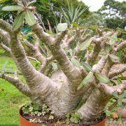 Pachypodium rosulatum ssp cactipes - frö köp hos Plantanica