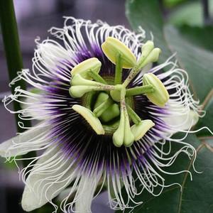Passiflora edulis - passionsblomma - frö köp hos Plantanica