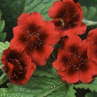Potentilla 'Monarch´s Velvet' - Fingerört - frö köp hos Plantanica