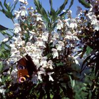 Prostanthera lasianthos - frö köp hos Plantanica