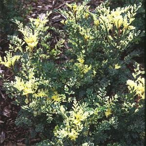 Ruta graveolens variegata - frö köp hos Plantanica