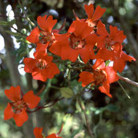 Tropaeolum speciosum - Eldkrasse - frö köp hos Plantanica
